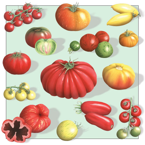 L'illustration des tomates Guardian par Alan Baker