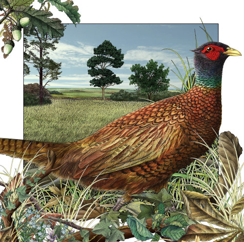 Pheasant in Autumn for Templar books