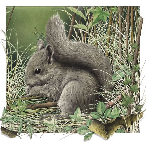 Illustration of grey Squirrel