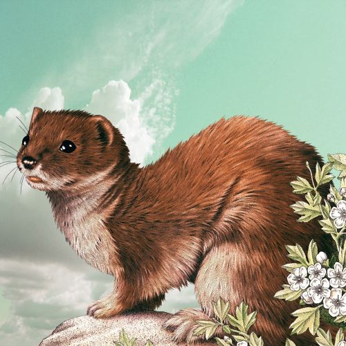 Stoat animal illustration by Alan Baker
