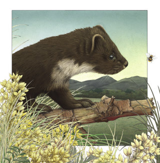 Pinemartin pet illustration by Alan Baker
