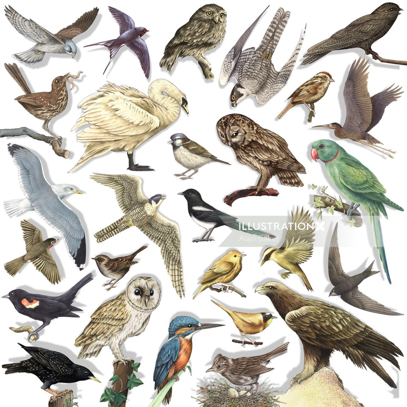 Birds illustration by Alan Baker