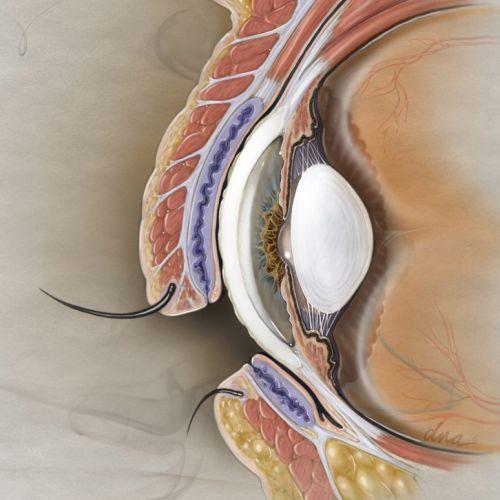 Eye Section