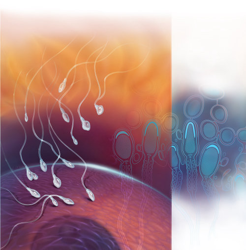 Medical illustration of Spermatogenesis