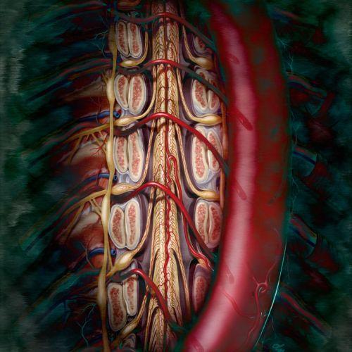 An illustration of Artery of Adamkiewicks