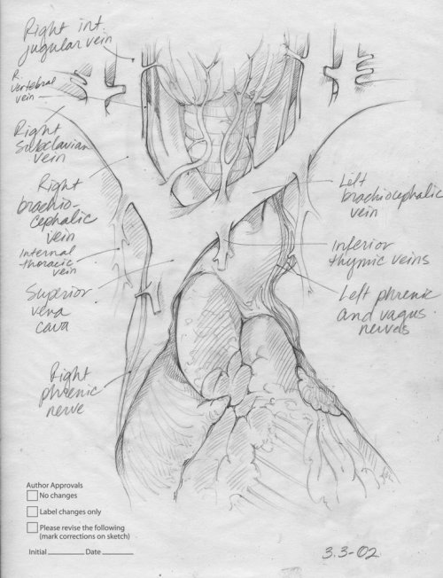 An illustration contents in mediastinum