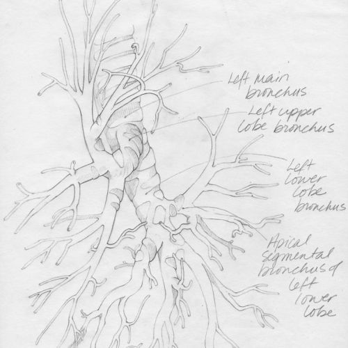 An illustration sketch of lateral view of bronchioles in left lung