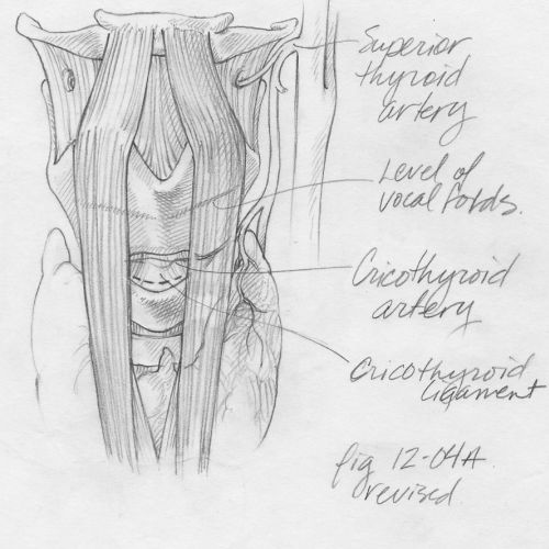 An illustration sketch of larynx