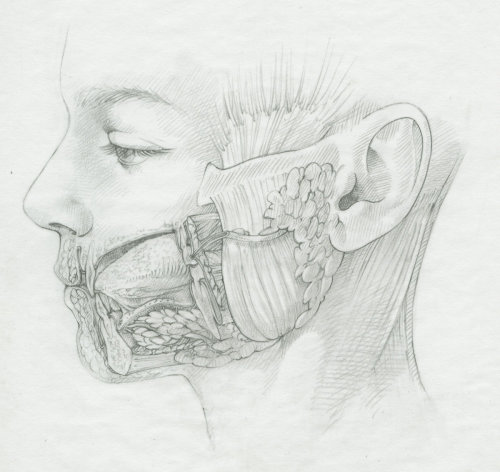 An illustration parotid area