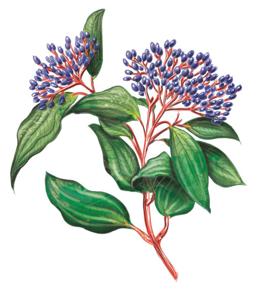 plante, botanique, cru, feuille, feuillage