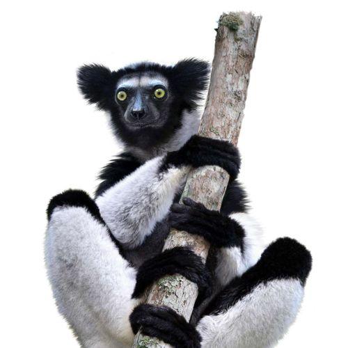 Lemur - Primate illustration