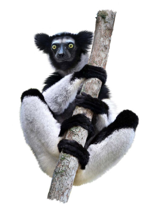 Lemur - Primate illustration
