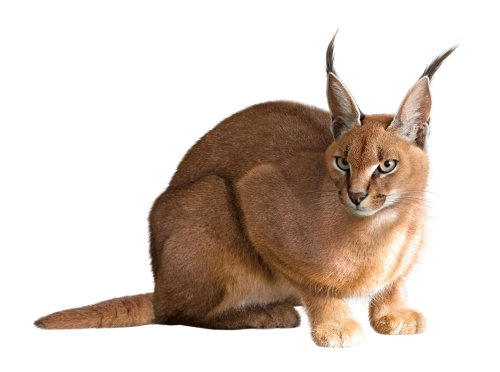 Caracal Animals Illustration by Andrew Beckett
