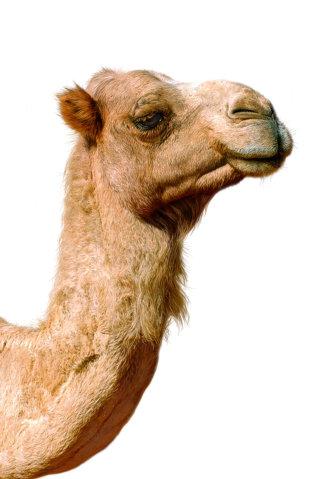 Illustration of Camel