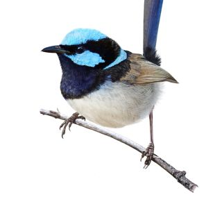 Superb fairywren bird illustration