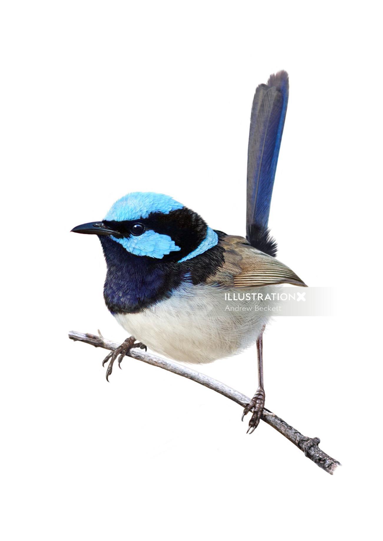 Superb fairywren bird illustration