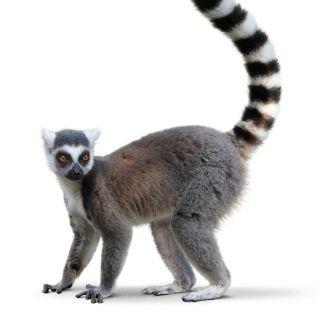 Ring-tailed lemur wildlife illustration