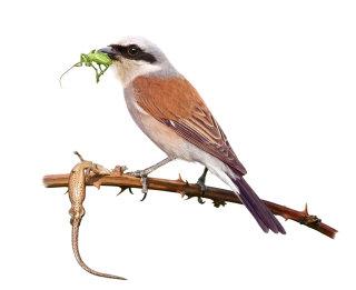 Digital painting of Red-backed Shrike