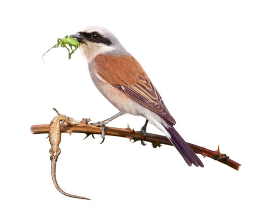 Digital painting of Red-backed Shrike