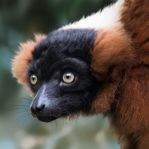 Illustration of Red-ruffed Lemur