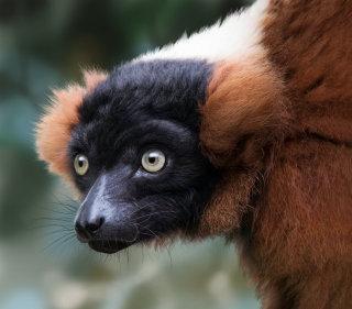 Illustration of Red-ruffed Lemur