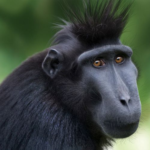 Sulawesi Crested Black Macaque