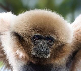 White-handed Gibbon digital art for Jersey Post