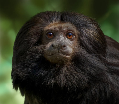 Black-lion Tamarin for Jersey Post