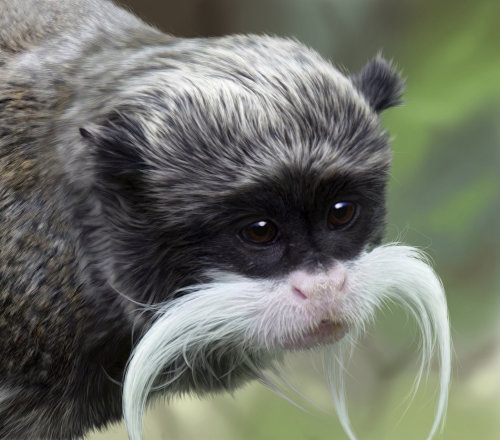 Portrait art of Emporer Tamarin for Jersey Post
