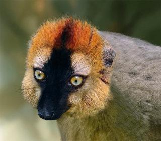 Re-fronted Brown Lemur illustration