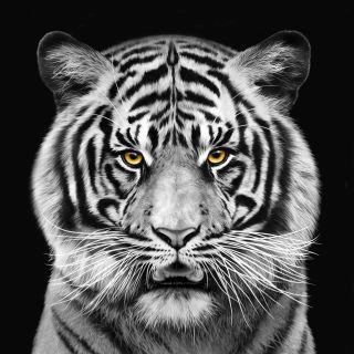 Tiger portrait art for Saatchi Germany