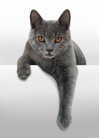 Photorealistic illustration of cat by Andrew Beckett