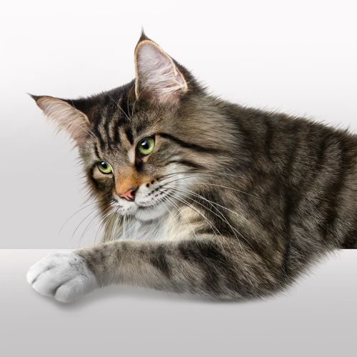 Photo realistic of cat by Andrew Beckett
