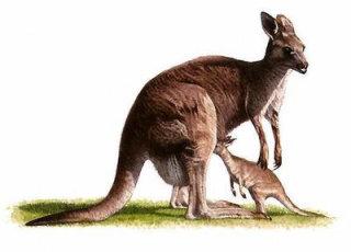 kangaroo with its baby - Wildlife illustration