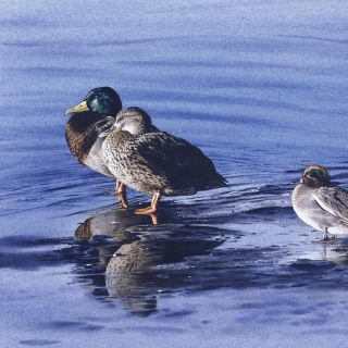 Birds resting on ice - An illustration by Andrew Beckett