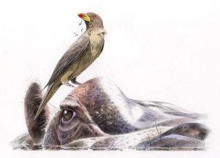 Watercolour illustration for a bird on a buffalo's horn