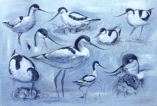 Wildlife illustration of avocet birds