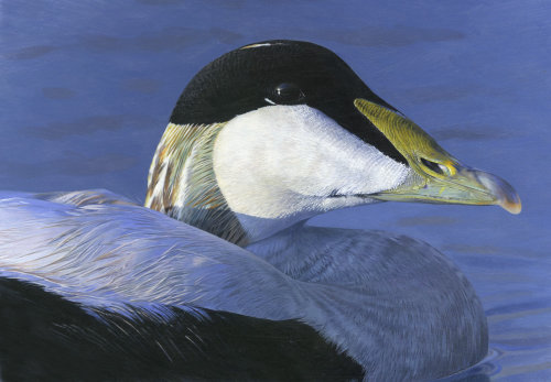Eider bird illustration by Andrew Becket