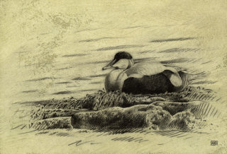 Duck illustration by Andrew Beckett