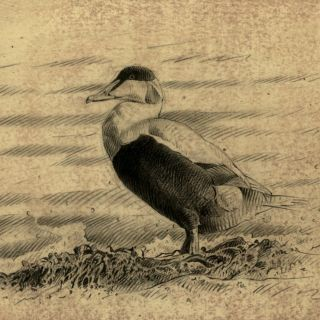 Eider bird on ground illustration by Andrew Becket