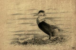 Eider bird on ground illustration by Andrew Becket