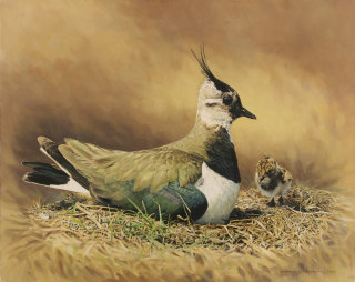 Lapwing bird illustration by Andrew Beckett