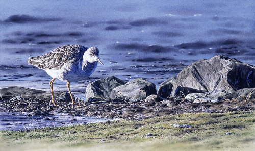 Watercolour painting of Ruff in winter plumage