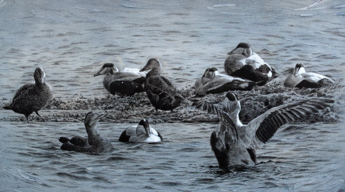 Eider bird in island - An illustration by Andrew Becket