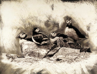 Atlantic puffins illustration by Andrew Beckett
