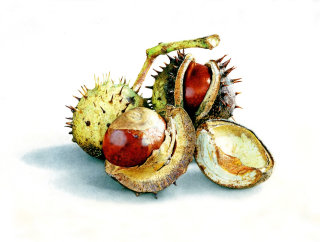 Horse chestnuts illustration by Andrew Beckett