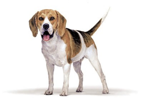 Beagle illustration by Andrew Beckett
