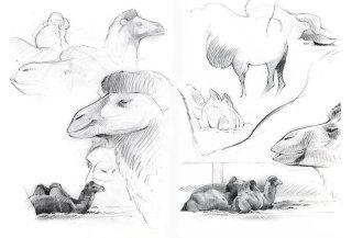 Pencil artwork for Camels