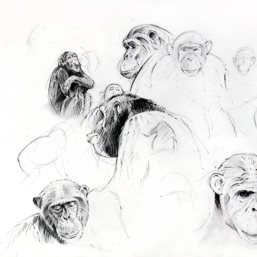 Line drawing of chimpanzees roaming in a group