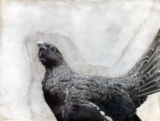 Capercaillie bird illustration by Andrew Beckett
